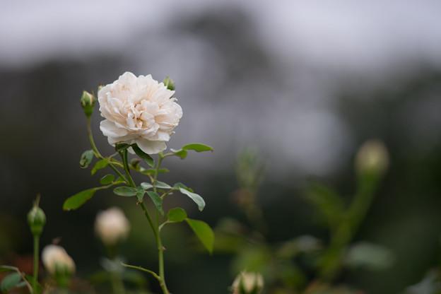 写真: 生田緑地ばら苑【バラ:リッチフィールド・エンジェル】3_Ai_180mm_f2.8