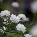 Photos: 生田緑地ばら苑【バラ:ファビュラス】2_Ai_180mm_f2.8