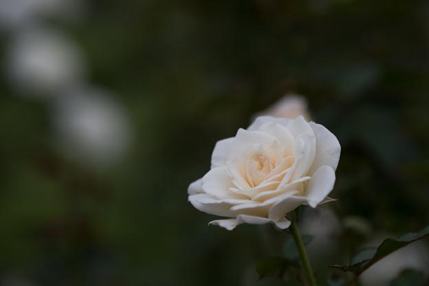生田緑地ばら苑【バラ:ファビュラス】4_Tamron_90mm_f2.8