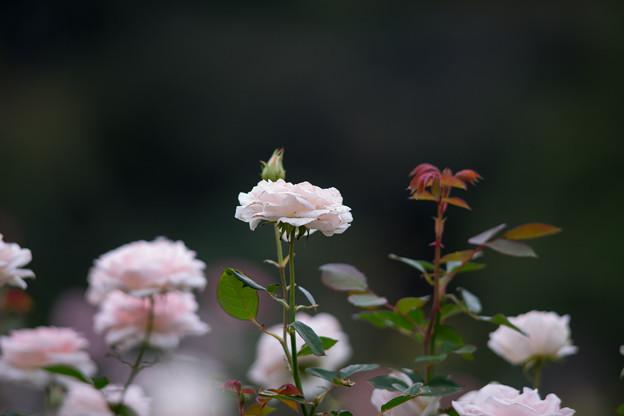 生田緑地ばら苑【バラ:ピンク・シフォン】_Ai_180mm_f2.8