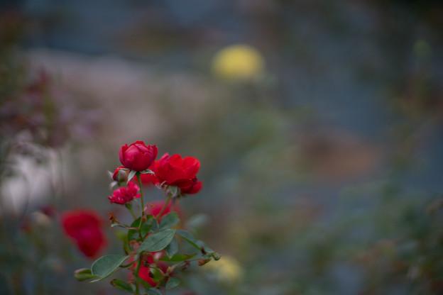 生田緑地ばら苑【バラ:トルナード】1_Planar_85mm_f1.4