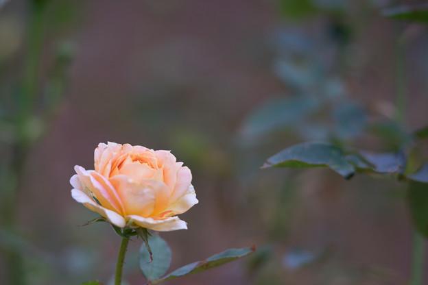生田緑地ばら苑【バラ:キャラメル・アンティーク】_Ai_180mm_f2.8