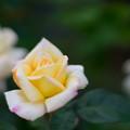 Photos: 生田緑地ばら苑【バラ:ピース】1_Planar_85mm_f1.4