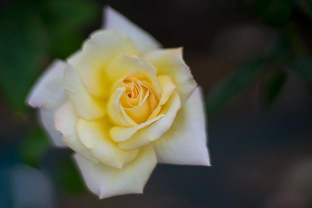 生田緑地ばら苑【バラ:ピース】3_Planar_85mm_f1.4