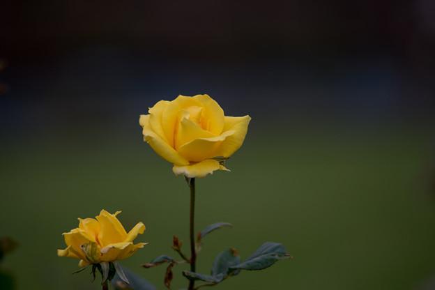 生田緑地ばら苑【バラ:ゴールドリーフ】_Ai_180mm_f2.8