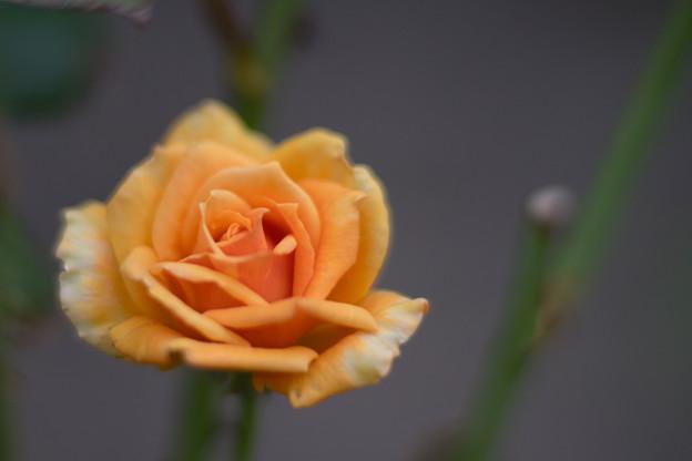 生田緑地ばら苑【バラ:アシュラム】_Planar_85mm_f1.4
