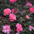 写真: 神代植物公園【バラ:シャルダン・ドゥ・フランス】1