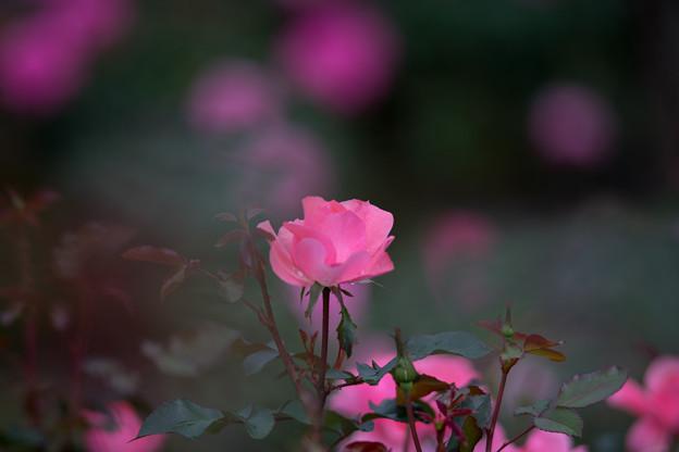 神代植物公園【バラ:シャルダン・ドゥ・フランス】4