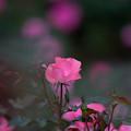 写真: 神代植物公園【バラ:シャルダン・ドゥ・フランス】4