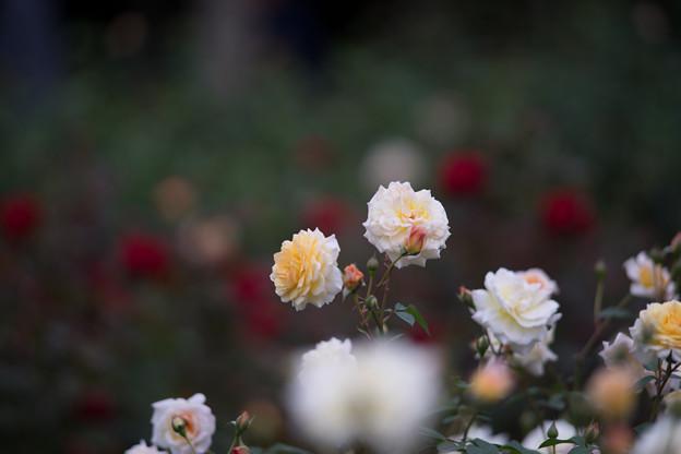 神代植物公園【バラ:ムーン・スプライト】2