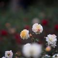 写真: 神代植物公園【バラ:ムーン・スプライト】2