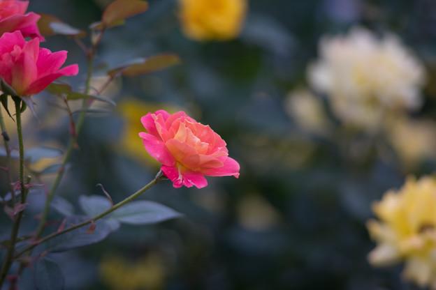 神代植物公園【バラ:ファンファーレ】3