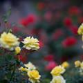 神代植物公園【バラ:ゴールド・バニー】2