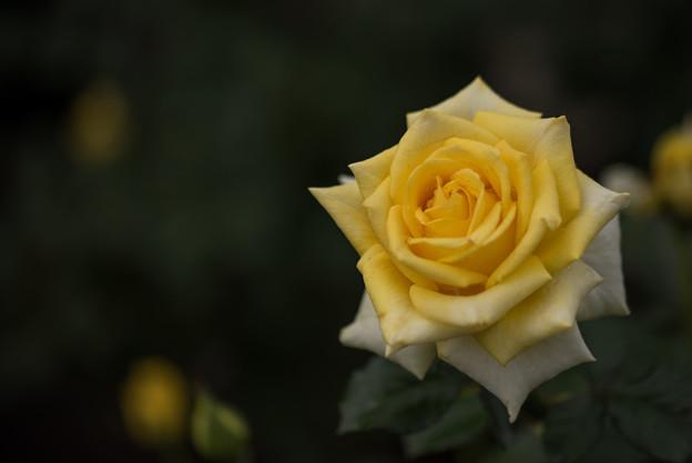 神代植物公園【バラ:ファルツァー・ゴールド】1