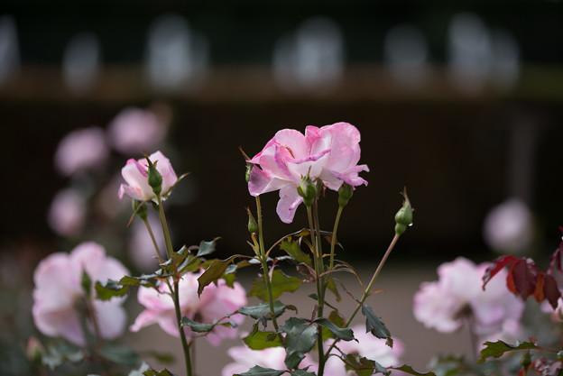 神代植物公園【バラ:アビゲイル】