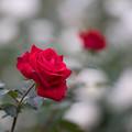 写真: 神代植物公園【バラ:タマンゴ】1