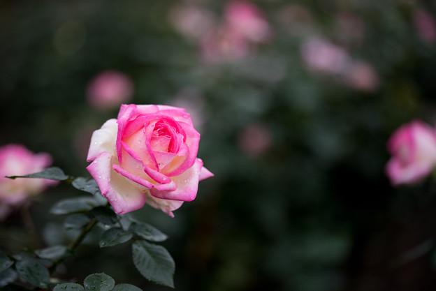 神代植物公園【バラ:プリンセス・ドゥ・モナコ】
