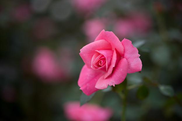 神代植物公園【バラ:マガリ】