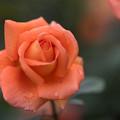 神代植物公園【バラ:ジャニナ】