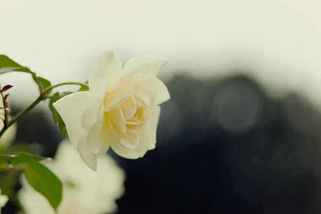 神代植物公園【バラ:サラトガ】2