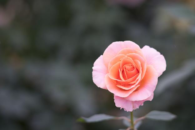 神代植物公園【バラ:名無(2003年)】2