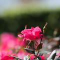 花菜ガーデン【秋バラ:ノックアウト】4