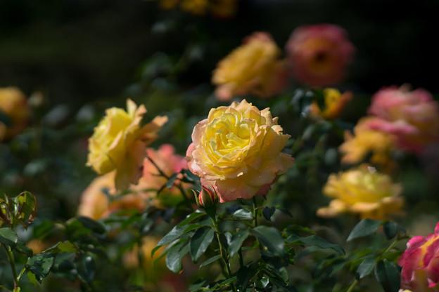 花菜ガーデン【秋バラ:トロピカル・シャーベット】2
