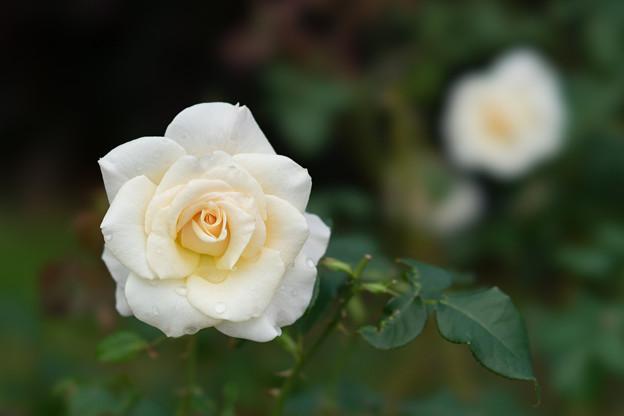 花菜ガーデン【秋バラ:フレンチ・レース】2