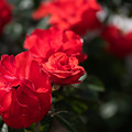 Photos: 花菜ガーデン【秋バラ:オリンピック・フアイヤー】2