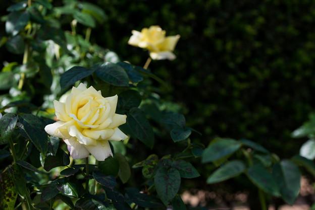 花菜ガーデン【秋バラ:ピース】2