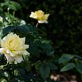 Photos: 花菜ガーデン【秋バラ:ピース】2
