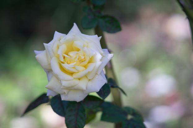 花菜ガーデン【秋バラ:ピース】3