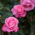 花菜ガーデン【秋バラ:芳純】1