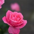 花菜ガーデン【秋バラ:芳純】3