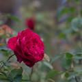 Photos: 花菜ガーデン【秋バラ:L・D・ブレスウェイト】