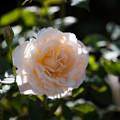 Photos: 花菜ガーデン【秋バラ:薫乃】1