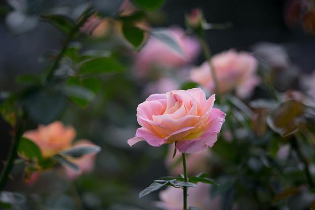 花菜ガーデン【秋バラ:エル】1