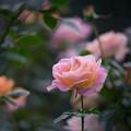 Photos: 花菜ガーデン【秋バラ:エル】1