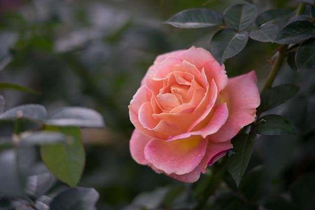 花菜ガーデン【秋バラ:エル】3