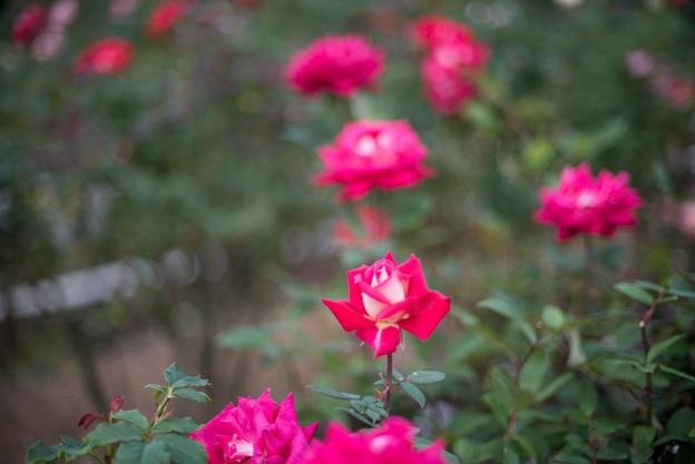 花菜ガーデン【秋バラ:ラブ】1