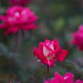 花菜ガーデン【秋バラ:ラブ】2