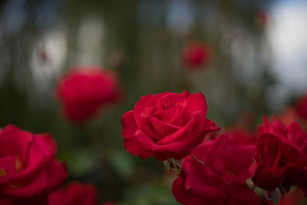 YEG【秋バラ:紅】