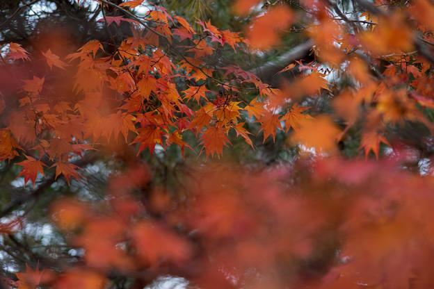 山中湖【渋い紅葉】6