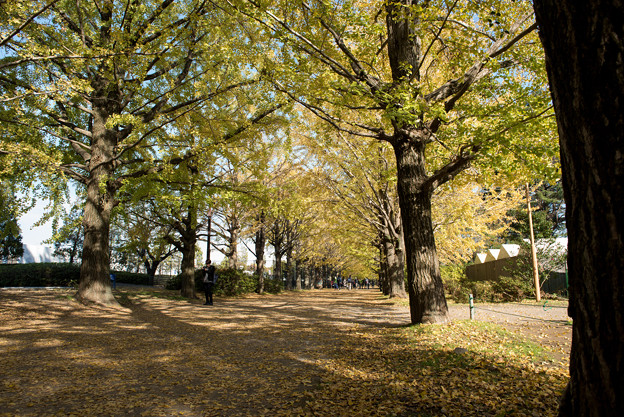 昭和記念公園【イチョウ並木】2