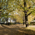 Photos: 昭和記念公園【イチョウ並木】2