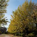 昭和記念公園【イチョウ並木】4
