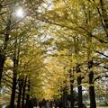 昭和記念公園【イチョウ並木】5