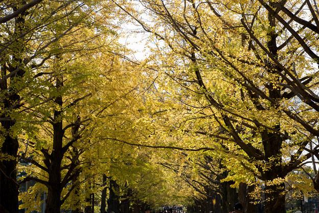 昭和記念公園【イチョウ並木】6