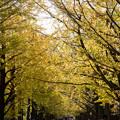 Photos: 昭和記念公園【イチョウ並木】6