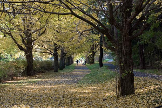 昭和記念公園【イチョウ並木】7